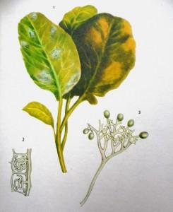 Ложная мучнистая роса(пероноспороз)