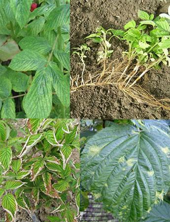 Вирусные заболевания малины: мозаика, стрик и израстание