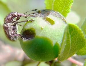 Трубковерт вишневый, или долгоносик вишневый