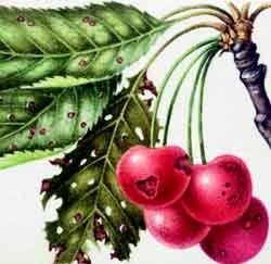 Клястероспориоз или дырчатая пятнистость вишни
